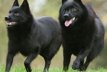 The Schipperke / by HopSchipJump