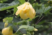 Kwiaty(abutilion)