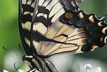 7-) Kelebekler ( Butterflies )