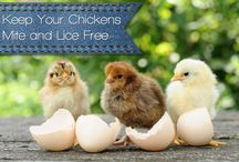 Backyard Chickens / Chickens are awesome because they lay eggs and like diatomaceous earth.