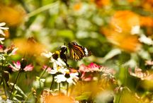 Tiger Butterfly / Tiger Butterfly through the Heavens of Flowers