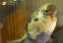 Mauve Budgies / Mauve budgies - budgies that have the Mauve body colour. This is the Olive Green body colour with the yellow removed. Read more about budgie colours at http://www.budgie-info.com/budgie-colors.html