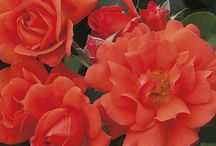 Roses that can Climb / These are rose varieties that climb to provide screening, privacy or high color.
