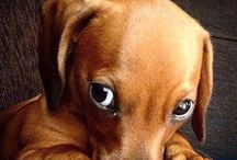 Adorable Dachshund Puppy Pictures