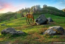 horses ponies  donkeys camels/ paarden pony's  ezels kamelen / .