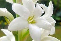 Jasmine Oil Benefits and Information