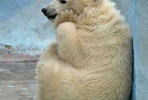 ľadová medved