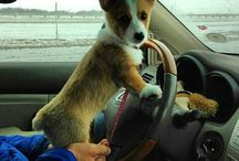 puppy driving.. (cool)