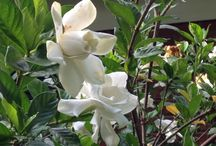 Gardenia bush  / Summer flowering bush