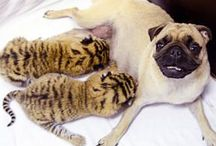 Amazing Animals Odd Couples / These awesome animals are too cute.  Awe inspiring (and sometimes shocking) unlikely animal friendships.  Best friends...  Animals rock!
