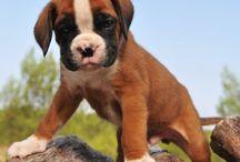 bongo la cane / Boxer