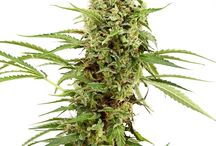 Marijuana Seeds Under $30 / Super cheap cannabis seeds! Under $30 for 3 or more seeds is a super deal, as always, gathering the best deals on cannabis seeds online and bringing them to you!