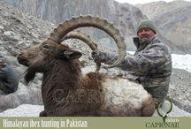 Himalayan ibex hunting in Pakistan