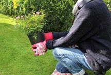 Rosen pflegen und pflanzen