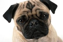 "Max ( Pug)  (China) / <meta name=""pinterest"" content=""nopin"" />"