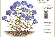 hydrangea pruniong tips