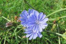 herbář, čeleď-Hvězdicovité / rostliny