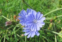 Čeleď-hvězdnicovité (Asteraceae)
