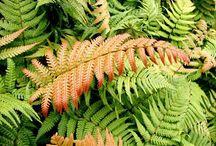 """Helechos / Los helechos (taxón Filicopsida, Pterophyta, Filicinae o Polypodiophyta) son plantas vasculares sin semilla (pteridofitas), cuyas características morfológicas más sobresalientes son sus hojas grandes (""""megafilos"""" o """"frondes""""), usualmente pinadas y con prefoliación circinada."""