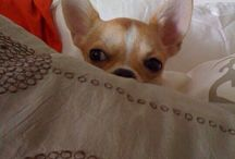 Sushi private life / Sushi is our little and lovely chiuhuahua model and muse! She is the icon of Sparkling dog!
