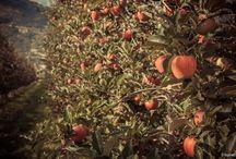 La nostra azienda agricola / Da ottobre, Melaugusta sarà la prima azienda valdostana in cui potrai raccogliere le mele direttamente dai nostri alberi.