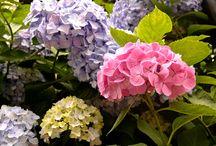 Rainy Season's Must Visit: Hydrangea in Kamakura!