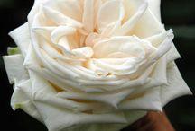 """Alexandra Farms Garden Roses / Bring Back the Romance  """"Exceptional Garden Roses"""""""