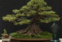 Bonsai and more
