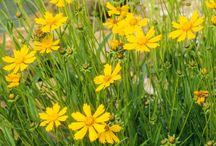 trvalky, kvety