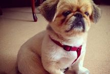 Pekingese Prince's & Princesses / The most adorable dogs u will ever find!  Funny, smart, clever, cute, loyal etc etc