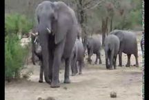 Wildlife Videos / Recent videos of real African Safaris