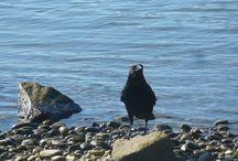 Krähen Crows