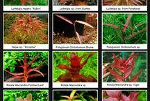 Akváriumi növények