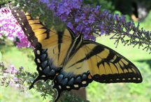 Butterflies in Gettysburg / I have a large butterfly bush that draws many different species of butterflies each summer.