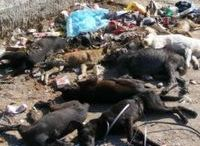 Mass dog poisoning in Ploiesti Romania / There has yet again been a mass poisoning of dogs in Ploiesti, including pets and neutered strays.  This is illegal under local and EU laws but due to corruption at local level very little is being done about this.