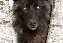 wolf images
