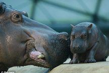 Animals: Hippos