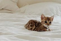 Kitty Cats TT