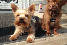 Chihuahua and Yorkies