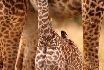 Safari Giraffe / by Courtney Allen