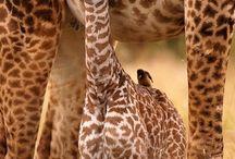 Safari Giraffe / by Courtney Allen