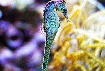 Seahorse/ Ιππόκαμπος
