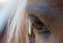 Butternut USA / Butternut is an 11yr old Haflinger Mare I am blessed to live with.