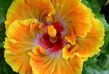 hibiscus fiery gurnacr