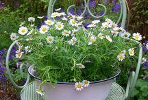 balkónové kytky