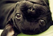 Pugs pugs pugs <3