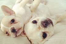 Cute frenchies