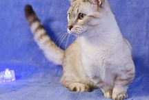 Манчкины - кошки таксы / Питомник кошек породы манчкин (кошка-такса).