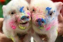 Evie's piglets