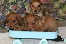 Dachshunds / by Lynn Williamson